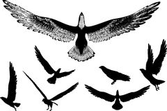 летать орлов Стоковые Фотографии RF