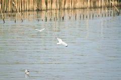Летать от фокуса предпосылки чайки 2 белизн мягкого летает Стоковые Фото