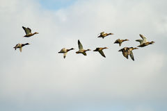 летать птиц одичалый Стоковое Изображение
