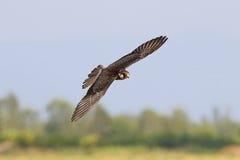 Летать птиц amurensis Falco сокола Амура Стоковые Фото
