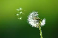 летать с семени Стоковые Фотографии RF