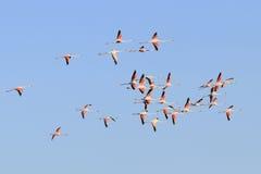 Летать фламинго Стоковые Изображения RF