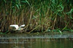 Летать цапли Squacco надводный Стоковые Фото