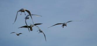 Летать чаек моря Стоковая Фотография