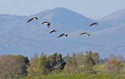 летать 6 ходулочников Стоковые Изображения RF