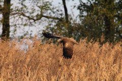 Летать migrans Milvus черного змея Стоковые Изображения