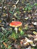 Летите пластинчатый гриб во взгляде сверху леса лета стоковые фотографии rf