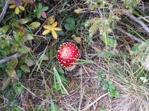 Летите пластинчатый гриб в лесе на солнечный день осени стоковые изображения