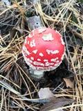 Летите пластинчатый гриб на предпосылке сухих игл сосны стоковое фото