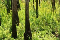 Летнее время Cypress Стоковые Фотографии RF