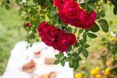 Летние каникулы в саде под красными розами стоковые фотографии rf