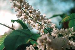 Лето вишни птицы цветеня рассвета сезона Стоковые Изображения RF