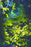 Лето выходит солнечний свет клена Стоковые Фото