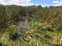 Лето в болоте Стоковая Фотография