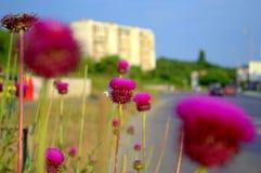 Лето в город-эффектных magenta цветениях thistle на улице Стоковое Фото
