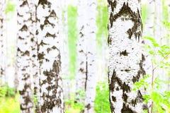Лето в лесе березы Стоковые Изображения