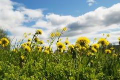 лето дня одуванчика Стоковая Фотография