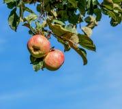 Лето зрелое яблок красное Стоковая Фотография