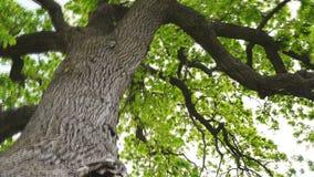 Лето листвы красивых дубов леса старое видеоматериал