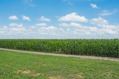 Лето кукурузного поля Стоковое фото RF