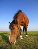 лето лужка лошади Стоковое Изображение