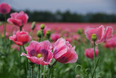 лето мака поля Стоковая Фотография