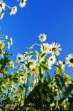 лето неба цветка голубой маргаритки стоковая фотография rf
