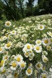 лето поля маргаритки Стоковые Фото