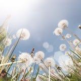 лето поля одуванчика Стоковое Изображение RF