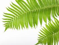 лето предпосылки тропическое Ветви папоротника изолированные на белой предпосылке Плоское положение Взгляд сверху Стоковое фото RF