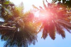 лето предпосылки тропическое Пальмы против неба Стоковое фото RF
