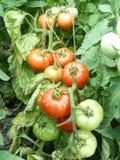 Лето, природа, земледелие, томаты, органические продукты, сбор Стоковое Изображение RF