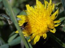 Лето, пчела, одуванчик Стоковые Фотографии RF