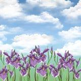 лето радужек цветков Стоковые Фотографии RF