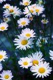лето сада цветков цветения Поле стоцвета цветет граница Стоковое фото RF