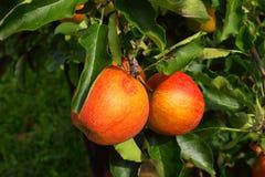 лето сада яблока Стоковое фото RF