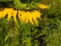 Лето сада солнцецвета головное склонное Стоковые Фото