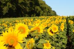 Лето, солнечное, день, солнце, поле, растет, большой, красивый, солнцецветы, цветки, небо, лес, ландшафт, настроение, горячее, се стоковые фотографии rf
