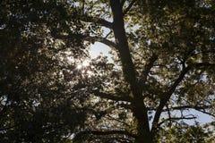 Лето солнца деревьев, восход солнца Стоковые Фотографии RF