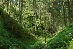 Лето соснового леса Стоковое Изображение
