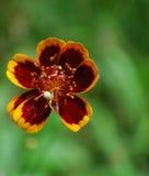 лето спайдера цветка зеленое отдыхая стоковая фотография
