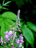 лето цветка fireweed поля Стоковые Изображения RF