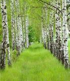 лето birchwood Стоковое фото RF