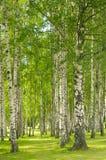 лето birchwood Стоковые Фотографии RF