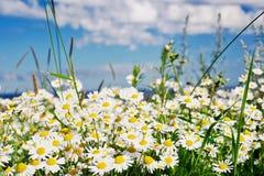 лето camomiles Стоковая Фотография