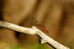 Лето Dragonfly Стоковые Изображения RF