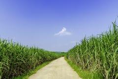 Лето fields, зеленый сахарный тростник, голубое небо стоковые фото