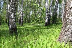 Лето Forrest Стоковые Фотографии RF