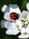 лето ladybird Стоковое Изображение RF