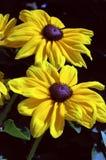 лето rudbeckia hirta индийское Стоковое Изображение RF